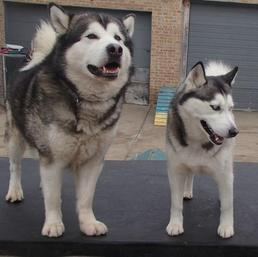 Illinois Alaskan Malamute Rescue Association - Home